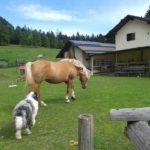 Macchia e il suo amico cavallo al pascolo di malga kraun